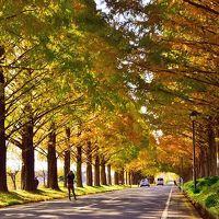 2015紅葉(8) 晩秋・メタセコイアの紅葉色づく並木道