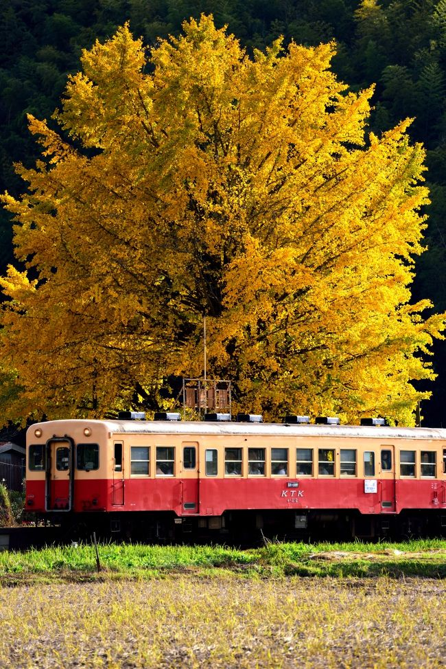 ♪故郷は遠くにありて思うもの♪<br />何せ「旅行=遠く」って思っていたもんで…<br />地元で三脚もって写真なんか撮ったことありませんでした。<br />しかし、4トラと出会ってから、案外近くも有りかもと思うようになり、今回は地元千葉を回ってみました。<br />季節は早晩秋。何となく写真で見たことのある小湊鉄道に銀杏でも見に行くか、って感じの軽〜いノリで11月のとある土曜日の午後出かけてみました。<br />行き先は大銀杏で有名な上総久保駅。行って見ると撮り鉄の方々が7〜8名三脚立てて…結構な迫力に、滅多に列車を被写体としない隊長は、何だかアウエーな感じです。<br />駅は大銀杏が見事に色付き、素晴らしい!!<br />自宅から40分程の近くにこんなフォトジェニックな駅があったとは…<br />しかし帰ってPCで見ると、何やらレンズのボディ側にレンズクリーナーの屑が付いていたようで、左隅に白っぽい色が…<br />悔しくて翌日リベンジ。<br />しかし…これだけでは旅行記になるほどの枚数もなく、折角なのでその後も11月に2度房総に行ってきました。<br />以前から興味のあった九十九谷の日の出。雲海がでると美しい景色を見せてくれます。<br />また、最近ジブリの世界と一部で人気が出ている、濃溝の滝<br />さらに小湊の幾つかの駅に<br />近いって油断か、、腕がヘボいのか、天気のせいなのか…まぁ同じとこを2度3度。同じ場所の週違いの写真が多数あります。写真の並びが時系列でないところがありますことご了承下さい。<br />似た写真ばかりですが、最後までお付き合いいただけたら幸甚です。