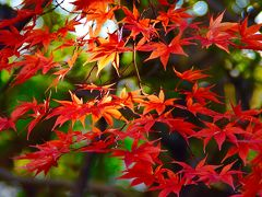 速報、今年最後の滋賀の紅葉 : 国宝彦根城、多賀大社、金剛輪寺の「血染めの紅葉」
