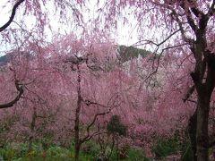 京都 原谷苑のお花見