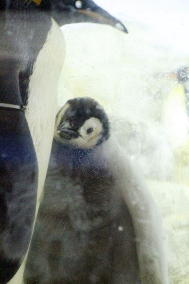 夜行バスで南紀白浜アドベンチャーワールド再々訪3泊2日~2日目はshimahukurouさんと一緒(8)Hello!エンペラーペンギンの赤ちゃん&4種類のペンギン大行進&ホッキョクグマ・トリオ&その他の動物たち