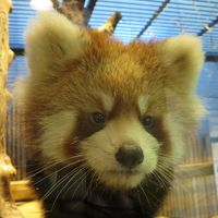 ZOOめぐり2015 第9回(レッサーベビちゃんあいたくて@いしかわ動物園)