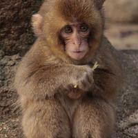野生のサルが下りてくる高崎山自然動物園(大分市)