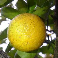 希少柑橘「ゆこう」を求めに行こう ~徳島県上勝町へ~