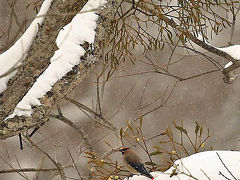 野鳥撮影記録(2016年1月ーその4)裏磐梯