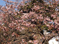 桜(カンザクラ)咲く新宿御苑~新宿3丁目の名店を訪れて