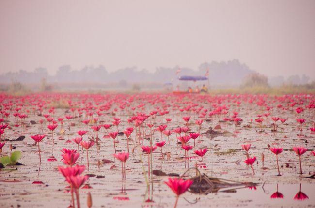 タイ北部のイサーン地方に、湖の水面が蓮の花で埋め尽くされるところがあるっていう写真をみて、これはすごそうだと実際に行ってみることにした。<br /><br />実際にみてみて感じたのは、日本の蓮って不忍池みたいに葉が生い茂った上に花が咲く印象だけど、それとは違って水面から濃いピンクの花が出ているので、水面の反射もあって印象がより強くなるんだなってこと。なんていうか、「あの世感」があった。<br /><br />バンコクからウドンタニまで移動、そこから湖まではトゥクトゥクをチャーターした。<br /><br />ウドンタニ自体は僕にとってはまったく見どころがない地方都市ってところで、蓮の花がなければ来ることもなかっただろうなあ・・というところ。