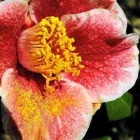 早くも椿が咲き始めた兵庫県立フラワーセンター