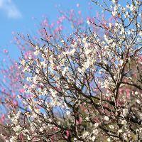 熱海で梅と桜と富士山とミス熱海