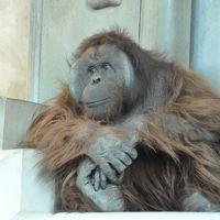 今年2回目の旭山動物園でオランウータンの行動展示を見た