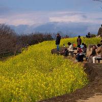 菜の花の咲く 神奈川県の二宮町 吾妻山公園は曇り