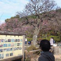 大田区立「池上梅園」に行ってきました。見頃には少し早く、3分咲きでした〜。