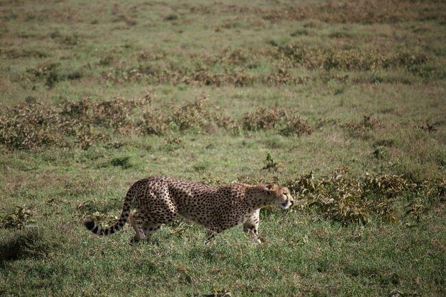 早朝のウォーキングサファリから始まり今日は念願の「ンドゥトゥ」へ行きます<br />やっと来たよ「ンドゥトゥ」<br />頭の中では野生の王国?なんだけど~<br />いっぱい動物が見れます様に<br /><br /><br />旅の日程<br />2月4日 関空 22:40 QR →<br /><br />2月5日 キリマンジャロ空港 14:25<br />        アルーシャ泊<br /><br />2月6日 ンゴロンゴロクレーターでサファリゲーム<br />    ロッジ泊<br /><br />★2月7日 早朝ウォーキングサファリ ンドゥトゥ移動サファリゲーム<br />    キャンプ泊<br /><br />2月8日 終日ンドゥトゥでサファリゲーム<br />    キャンプ泊<br /><br />2月9日 セレンゲティへ移動しながらサファリゲーム<br />    キャンプ泊<br /><br />2月10日 セレンゲティ11:00→アルーシャ12:00(セスナ) 施設訪問<br />    アルーシャ泊<br /><br />2月11日 アルーシャ街歩き<br />    キリマンジャロ空港 17:40 QR →<br /><br />2月12日 関空 16:55