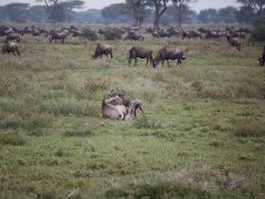 Amazing Tanzania!6 ンドゥトゥで心が震える瞬間!! 命って素晴らしい!!!
