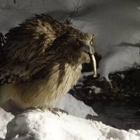 湯宿だいいち シマフクロウと野鳥観察の旅