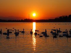 多々良沼に飛来した白鳥と夕日を撮りに行ってみました☆[②]