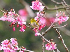 2月の日本列島 今が一番の寒い季節!  でも?  2016年 日本一早い さくら開花