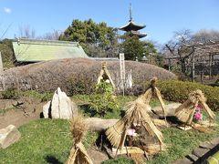 真冬の「冬牡丹」と上野公園の社寺♪ Vol3 上野東照宮「ぼたん苑」 冬牡丹とマンサクと梅を優雅に鑑賞♪