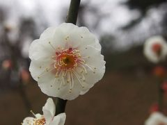 神奈川は大倉山で梅を愛でる2016