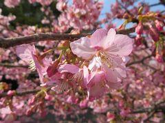 2016早春、浜岡砂丘、河津桜とイチゴ狩:2月24日(2/4):河津桜の並木道、菜の花、椿