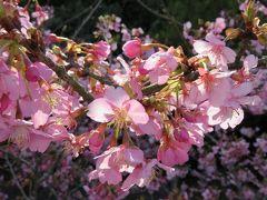2016早春、浜岡砂丘、河津桜とイチゴ狩:2月24日(3/4):河津桜の並木道、白砂公園、浜岡砂丘