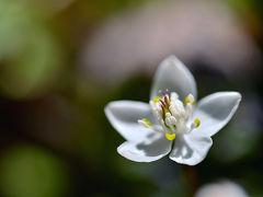 ひっそりと咲く森の中の妖精・バイカオウレン