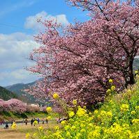 早春の風物詩・色艶やかな河津桜を愛でにゆく 2016年版【前編】〜ピンク色に染まった満開の桜並木を歩く♪〜