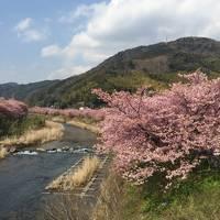 混雑ピーク時に観に行く河津桜祭り