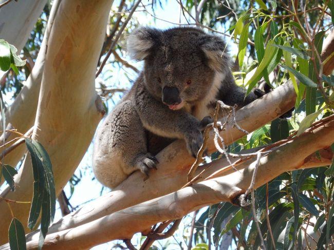 アデレードで働いている友人の「遊びにおいでよ」という一言で決めたオーストラリア旅行。<br />思ったより休みがとれそうだったので、どうせならシドニーも行ってしまおう!と2都市巡りすることに。<br /><br />アデレードはマイナー都市の為、パッケージツアーなどはなく、飛行機、宿泊先、現地ツアーは自分で手配。<br /><br />帰国してから忙しかったので、いまさらながらの投稿です…<br />出来る限り思い出していきますので、これから行く人の参考になればうれしいです。<br /><br /><br />【全日程】<br />1日目 羽田発 <br />2日目 シドニー着→観光 <br />3日目 シドニー観光 <br />4日目 シドニー→アデレード<br />5日目 カンガルー島ツアー ★<br />6日目 アデレード観光<br />7日目 バロッサバレー&ハーンドルフツアー<br />8日目 グレネルグ&アデレード観光<br />9日目 アデレード→成田着<br /><br />この日はアデレード郊外のカンガルー島のツアーに参加しました。<br />初っ端から最後まで感動しっぱなし。<br />自然の素晴らしさを実感した日でした。