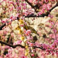枝垂れ梅と河津桜、春を求めて京都の南の方をブラリ!