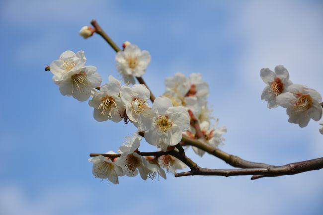 杉田梅林、御存じでしょうか?<br />江戸時代から明治初期まで、磯子区杉田にありました梅林です。<br />最盛期には、3万7千本もの梅があったそうです。<br />また、杉田梅と言われる原木も多数あったそうです。<br />それらも造成で消えかけていますが、妙法寺(日蓮宗)には、未だ<br />50本程の梅が存在しています。<br />そんな梅を鑑賞しながら、妙法寺で行われた、荒行帰山式にも<br />出席させて頂きました。<br />有意義な半日でした。<br /><br />夜からは、久し振りに三浦海岸の夜桜を見に行って来ました。<br />写真が多いですが、暫し時間を頂けたらと思います。<br />