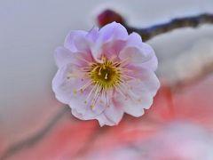 博物館明治村の梅の花が咲き、早春春風に誘われて!