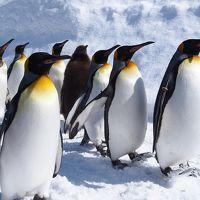 <晴れのち大吹雪かよ北海道・1>冬の旭山動物園ではペンギンもシロクマも私も元気です!