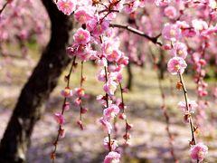 平安貴族の楽園『城南宮』枝垂れ梅の咲く庭を見に・・・