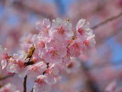 梅と桜を楽しみながら御首題巡り(伊豆長岡・韮山・伊豆仁田)