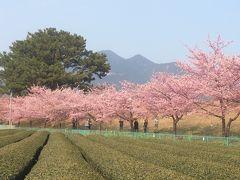 安倍川沿いに咲く美和桜