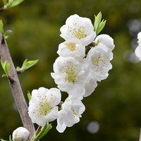 二ヶ領用水 春の花いっぱい 2016(川崎市中原)