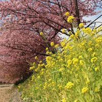 2016年2月 初めていく河津桜まつり!河津桜と菜の花がとても綺麗でした。