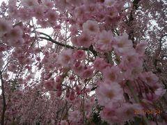 今年も弘前の桜に会えました