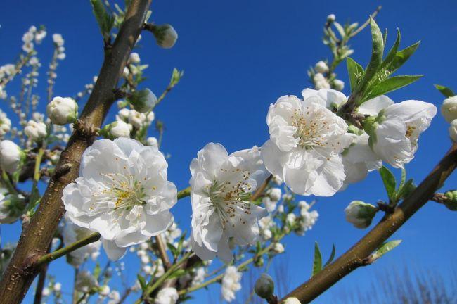桃の時期は3月中旬から4月中旬らしい。<br />先週、あったかい時期もあったから満開になっているかなと見に行ったけれど、4分咲きって感じでした。<br />満開の木があり、蕾すらない木があり、いろいろ。<br />でも、天気が良かったので、綺麗に写真が撮れました。<br />