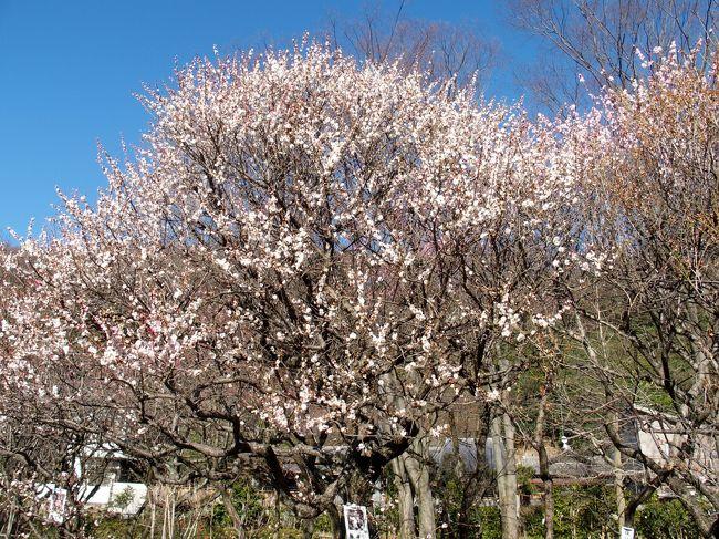 岐阜市にある梅林公園の第64回ぎふ梅まつりに出かけてきました<br />今年は岐阜の梅林公園の梅も早くから咲いていたようで遅咲きの梅も咲き始めていました<br />JR岐阜駅から北東に1.5kmのところに位置する普段は街中とは思えない静かな公園だそうですが、3/12,3/13は梅まつりのため多くの老若男女、親子連れで賑わいをみせていました<br />明治5年、篠田祐助氏が私有地を公園に整備し、明治14年「篠ヶ谷園(ささがたにえん)」として一般市民に開放したことが始まりです<br />園内には約50種1,300本の梅が植えられ、毎年1月中旬から早咲きの梅が咲き初め、3月上旬から見頃を迎え、4月上旬まで様々な梅の花を楽しむことができます<br />芝生広場や遊具等も整備され蒸気機関車D51も展示されている<br />(パンフレットより)<br /><br />2016.3/12-3/13第64回ぎふ梅まつり<br />Pは近くの民間Pを利用<br />梅林公園 入園料:無料 開園時間:入園自由<br />人力車1人500円<br /><br />瑞龍寺 <br />梅まつり期間のみ土屋禮一先生の障壁画「蒼龍」「瑞龍」を公開入場無料<br /><br />今回は参拝していませんが橿森神社が近くにあります<br />橿森神社(かしもりじんじゃ) こどもの神様<br />主祭神は市隼雄命、父君が伊奈波神社の五十瓊敷入彦命(いにしきいりひこのみこと、第11代垂仁天皇の第一皇子 第12代景行天皇の兄)、母君は金神社の主祭神淳熨斗媛命(ぬのしひめのみこと、景行天皇の第6皇女)<br />江戸時代にはこの3つの神社を歩いてまいることで夫婦円満・家内安全・子宝などを祈願する「三社まいり」が行われていました<br />付近には、織田信長が岐阜城在城の折、榎の下で開いた楽市楽座で有名な美薗の榎があります(パンフレットより)<br /><br />
