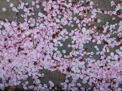 2016春、今年最後の枝垂れ梅(1):3月11日(1):名古屋市農業センター、枝垂れ梅の落花、黄梅、山茱萸