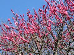 2016春、今年最後の枝垂れ梅(3:完):3月11日(3):名古屋市農業センター、散り始めの枝垂れ梅、満開のハクモクレン