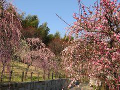 2016春、見頃の枝垂れ梅(1/4):3月3日(1):名古屋市農業センター、枝垂れ梅の並木、緑萼枝垂れ、呉服枝垂れ