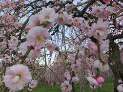 2016春、見頃の枝垂れ梅(3/4):3月3日(3):名古屋市農業センター、緑萼枝垂れ、呉服枝垂れ、緋の司枝垂れ、一重緑萼枝垂れ