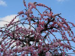 2016春、見頃の枝垂れ梅(4/4):3月3日(4):名古屋市農業センター、藤牡丹枝垂れ、呉服枝垂れ、千鳥枝垂れ、満月枝垂れ