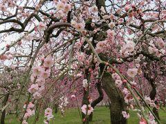 2016春、五分咲ほどの枝垂れ梅(1/5):2月26日(1):名古屋市農業センター、緑萼枝垂れ、呉服枝垂れ