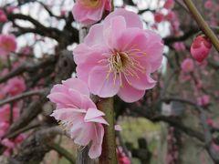 2016春、五分咲ほどの枝垂れ梅(2/5):2月26日(2):名古屋市農業センター、緑萼枝垂れ、呉服枝垂れ