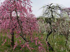 2016春、五分咲ほどの枝垂れ梅(3/5):2月26日(3):名古屋市農業センター、緑萼枝垂れ、呉服枝垂れ