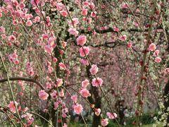 2016春、五分咲ほどの枝垂れ梅(4/5):2月26日(4):名古屋市農業センター、緑萼枝垂れ、呉服枝垂れ